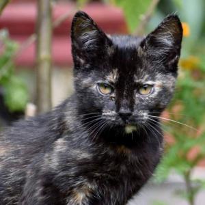 Cola - śliczna szylkretowa kotka znalazła dom.